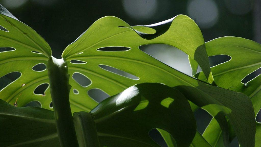 観葉植物の育て方:モンステラが枯れる原因を知りたい!