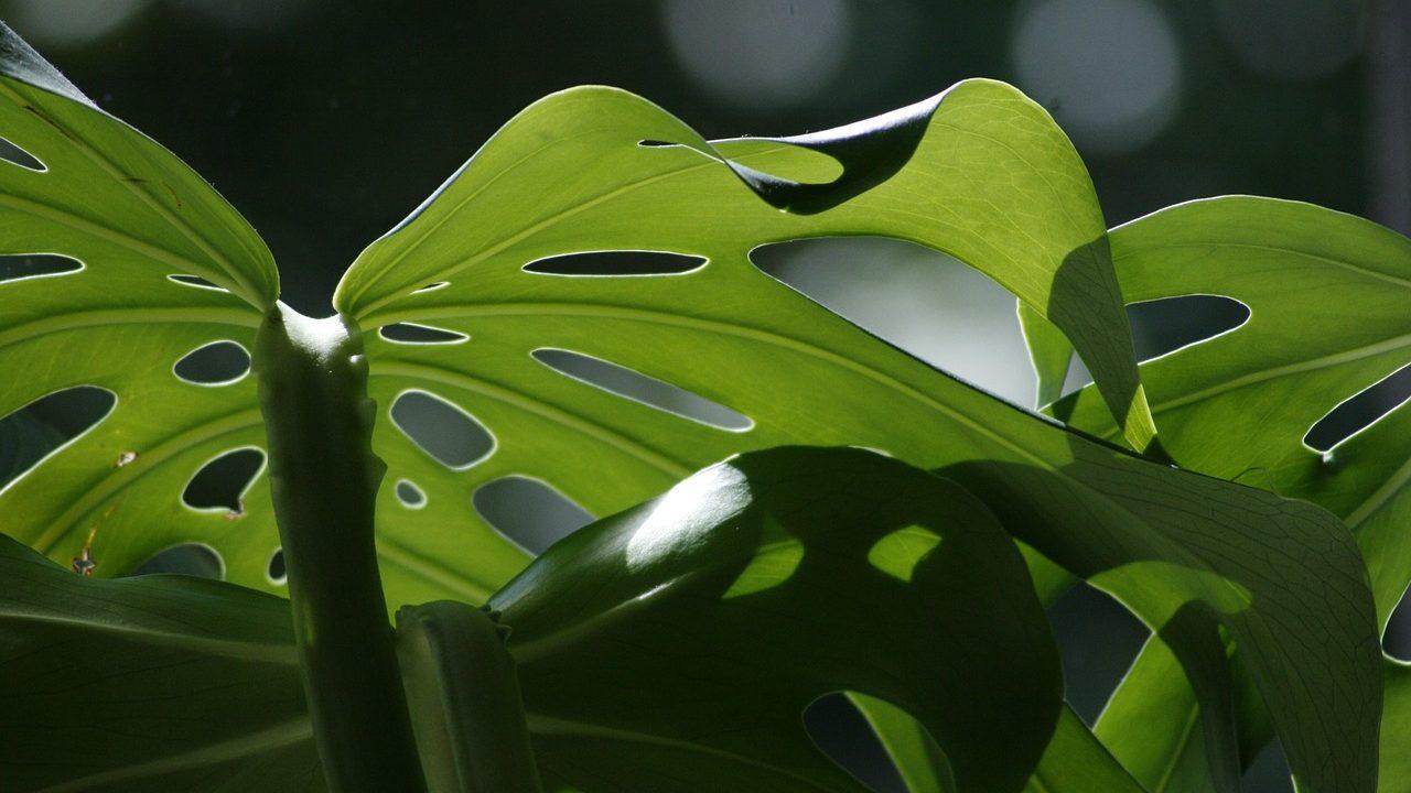 観葉植物の上手な育て方!モンステラの元気が…枯れる原因は水やり?