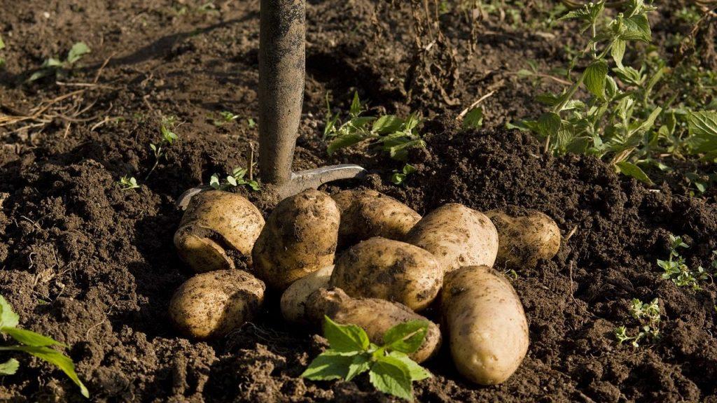 ジャガイモの収穫のタイミングっていつ?の疑問を解決!