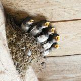 やっかいなツバメの巣対策
